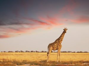 Giraffe at sunset at Taronga Western Plains Zoo in Dubbo